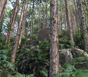 Owase Hinoki Cypress