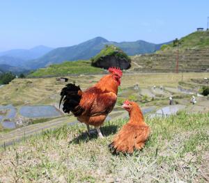 Kumano Chicken