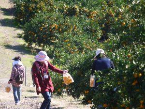 みかん収穫体験